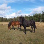 Islandshästarna Jarpur & Seipur