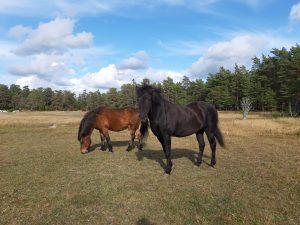 Islandshästarna Jarpur & Seidur